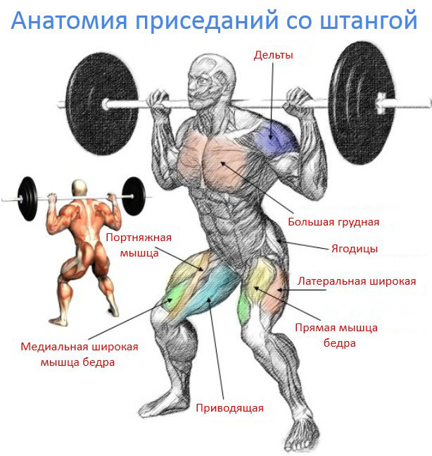 Рабочие мышцы учавствующие в приседании со штангой