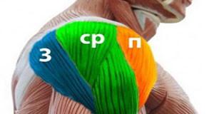 Дельтовидная мышцы