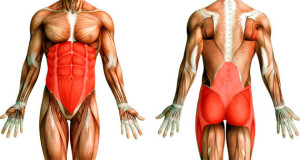 Анатомия мышц кора