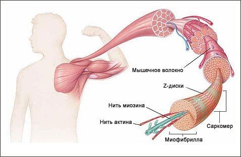 Мышечное волокно