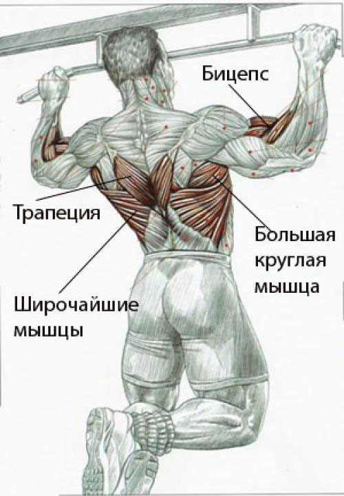 Рабочие мышцы при подтягиваниях на турнике