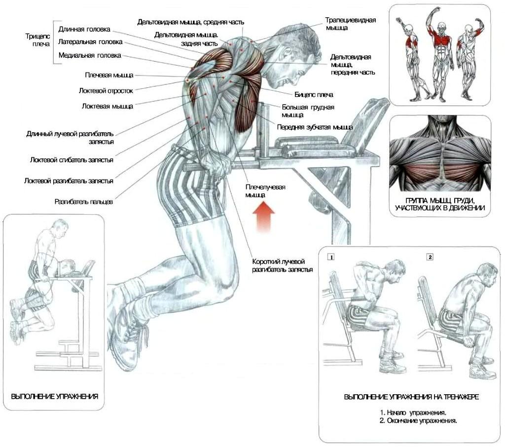 Отжимания на брусьях: рабочие мышцы