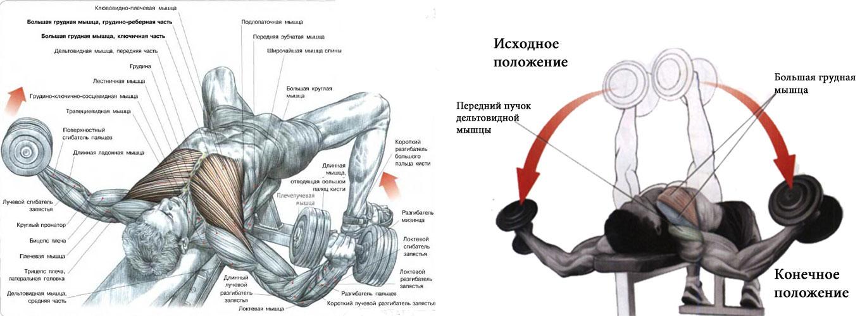 Как очень быстро накачать мышци груди действие сустанона на организм человека