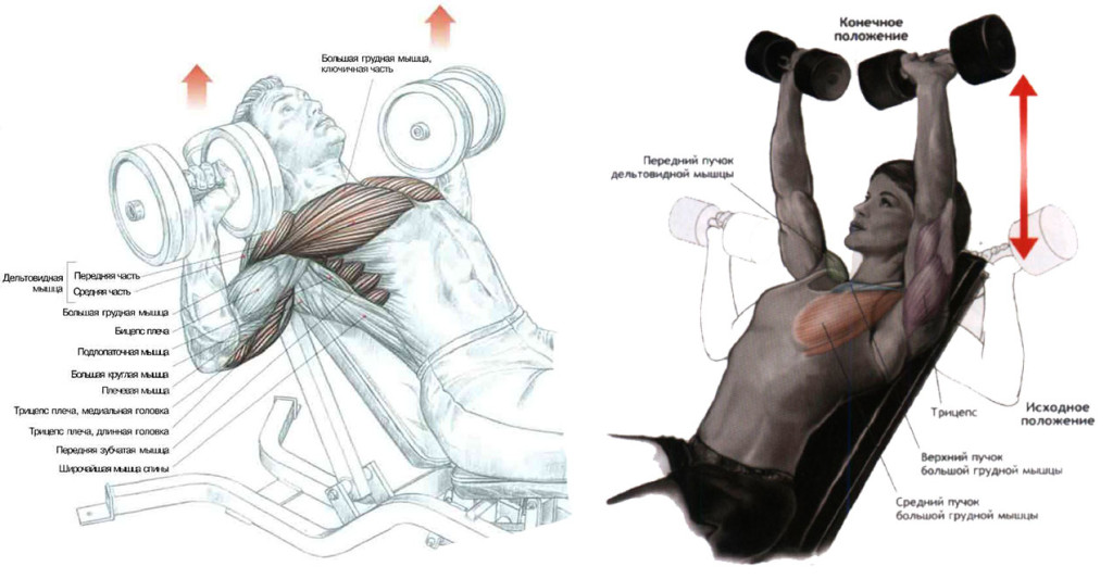 Жим гантелей на наклонной лавке для тренировки грудных мышц