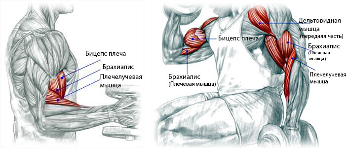 бицепс плеча анатомия