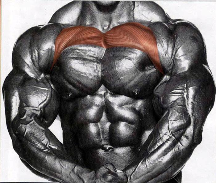 Верхняя часть большой грудной мышцы