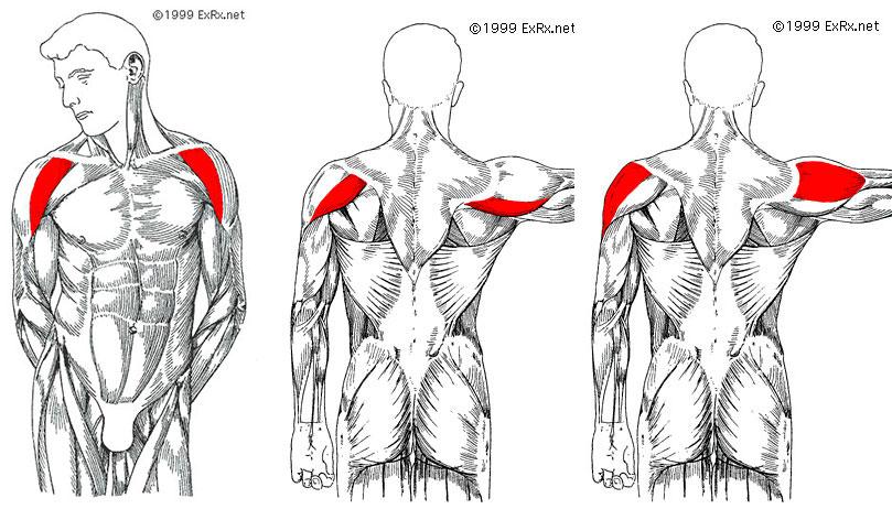 анатомия дельтовидной мышцы