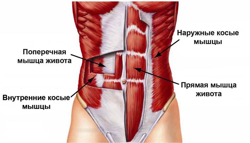 Мышцы брюшного пресса анатомия