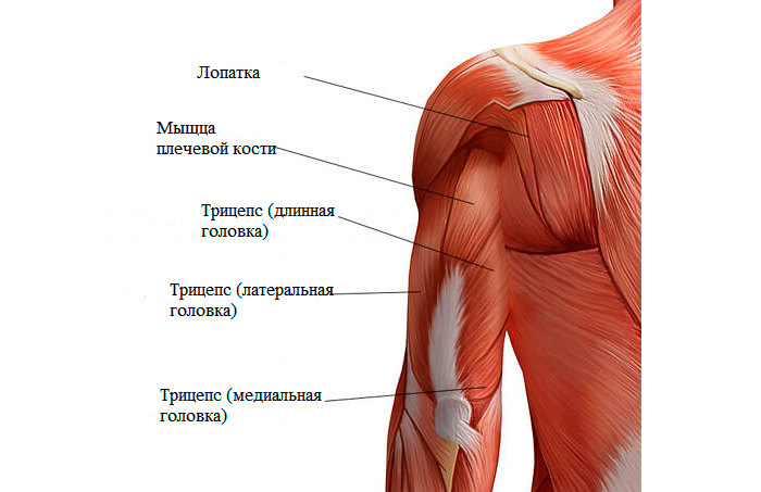 Сухожилие крепится внутрь к боковой части предплечья