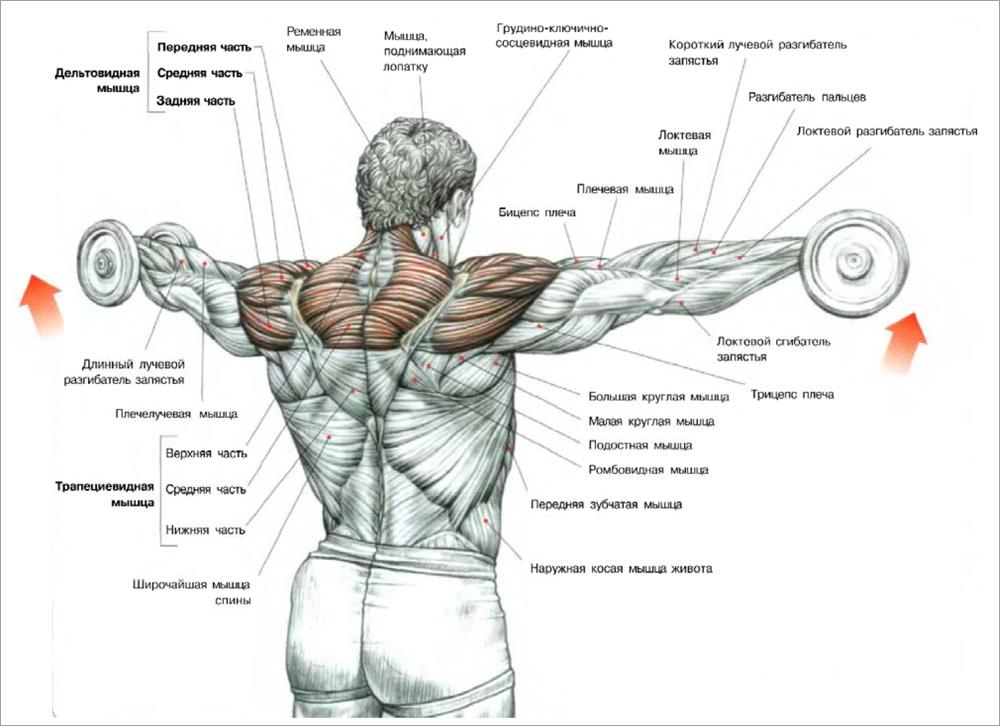 махи гантелями в стороны стоя рабочие мышцы