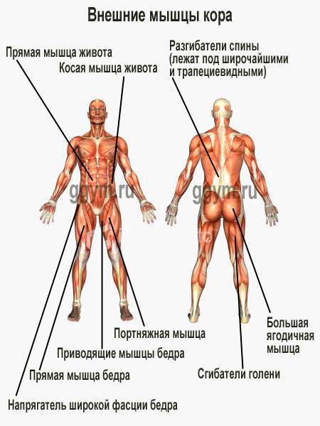 Расположение мышц кора на теле