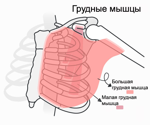 Строение грудных